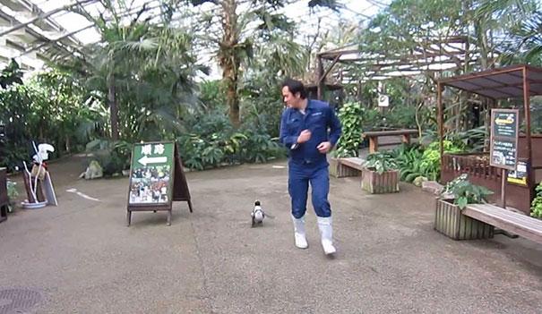 Το χαριτωμένο βίντεο της εβδομάδας: Πιγκουινάκι κυνηγάει τον φροντιστή του