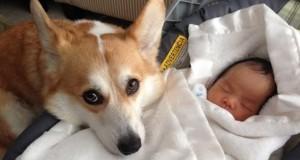 Όταν οι σκύλοι αναλαμβάνουν την προστασία μωρών (Video)