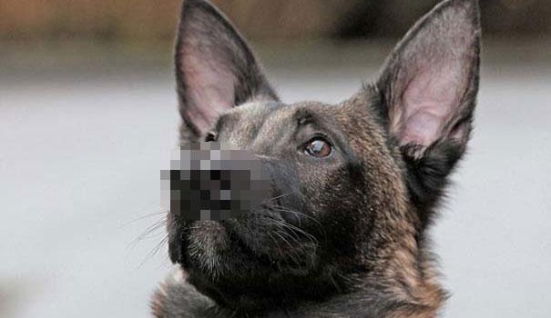 Σκύλος με δύο μύτες (1)