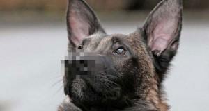 Σκύλος με δύο μύτες