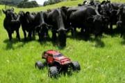 Αγελάδες κυνηγούν τηλεκατευθυνόμενο σε λιβάδι