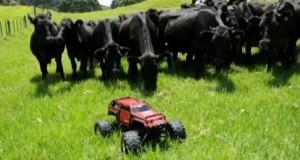 Αγελάδες κυνηγούν τηλεκατευθυνόμενο σε λιβάδι (Video)