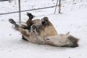 Άλογα παίζουν στο χιόνι