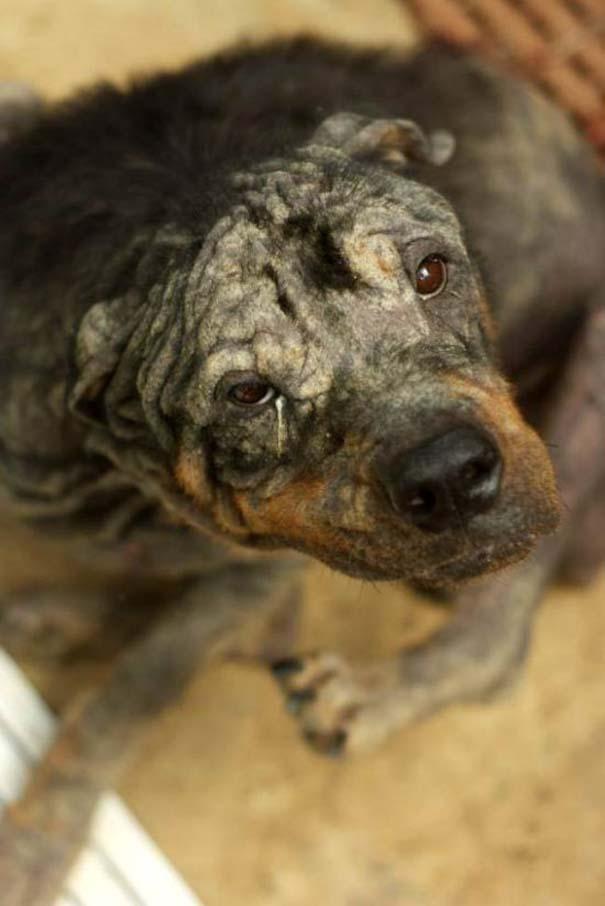 Η απίστευτη μεταμόρφωση ενός Rottweiler (1)