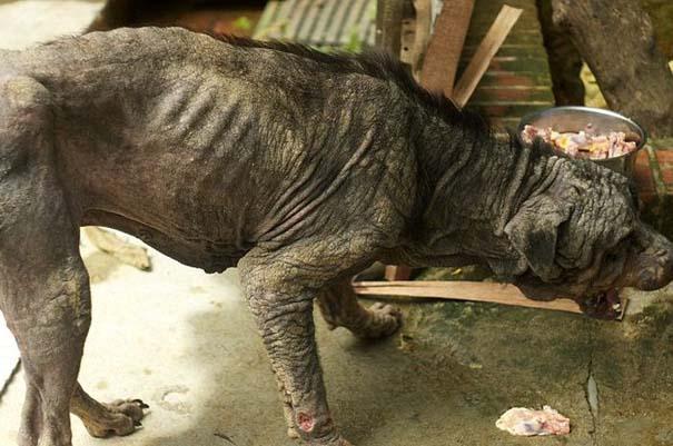 Η απίστευτη μεταμόρφωση ενός Rottweiler (2)