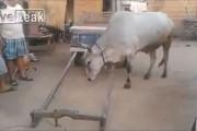 Έξυπνη αγελάδα ετοιμάζεται μόνη της για δουλειά