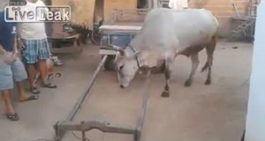 Έξυπνη αγελάδα ετοιμάζεται μόνη της για δουλειά (Video)