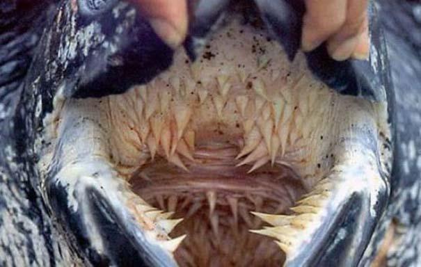 Το εσωτερικό του στόματος της δερματοχελώνας θα σας προκαλέσει εφιάλτες (4)