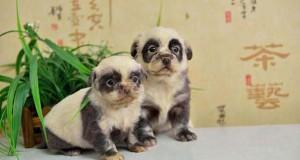 Κουτάβια που μοιάζουν με… Panda!