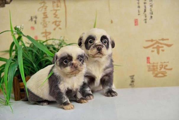 Κουτάβια που μοιάζουν με Panda (1)