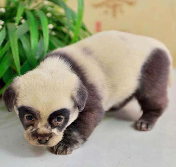 Κουτάβια που μοιάζουν με Panda (2)