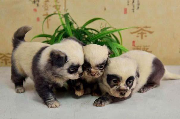 Κουτάβια που μοιάζουν με Panda (3)