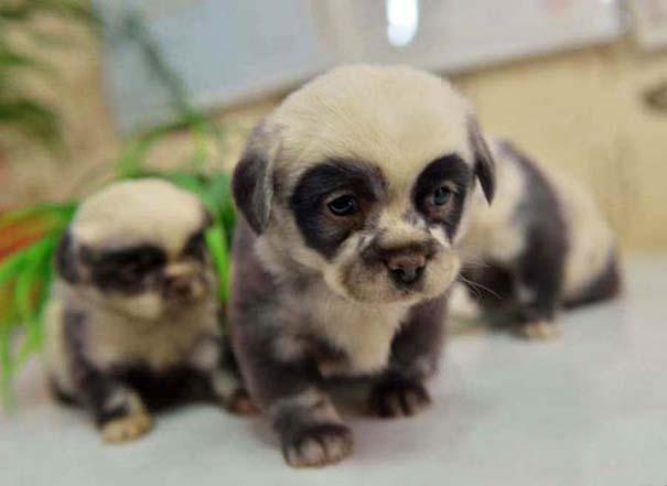 Κουτάβια που μοιάζουν με Panda (5)