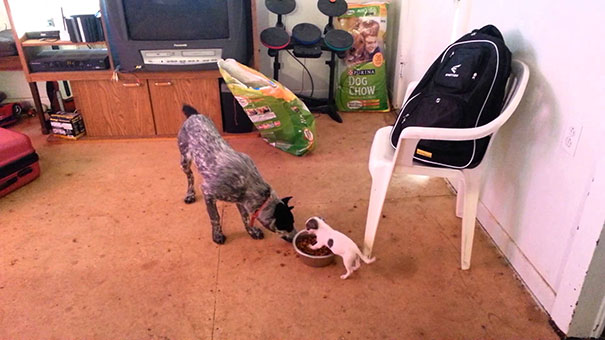 Μικροσκοπικό κουτάβι δείχνει σε μεγάλο σκύλο ποιος είναι το αφεντικό