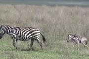 Μωρά ζώων κάνουν τα πρώτα τους βήματα