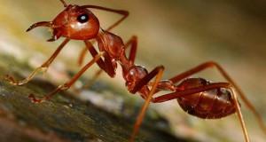 Το μοναδικό όπλο των μυρμήγκιων για να προστατεύονται από τα πουλιά