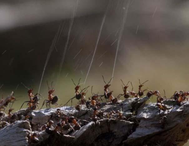 Τα μυρμήγκια έχουν τον τρόπο τους να προστατεύονται από τα πουλιά (4)