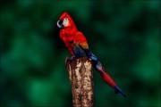 Ένας παπαγάλος που... δεν είναι παπαγάλος (1)