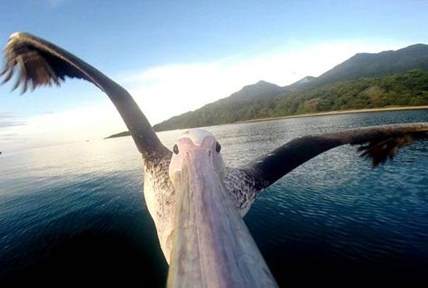 Πελεκάνος μαθαίνει να πετάει με μια κάμερα στο ράμφος του