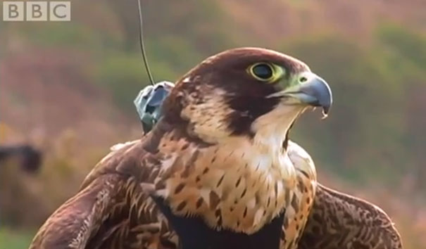 Πετώντας με τα ταχύτερα πτηνά του πλανήτη