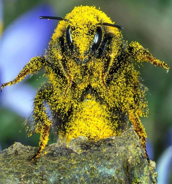 Αυτή η μέλισσα είχε πολύ γεμάτη μέρα | Φωτογραφία της ημέρας