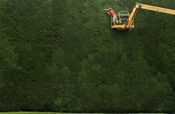 Πανύψηλος φράχτης από θάμνους 300 ετών   Φωτογραφία της ημέρας