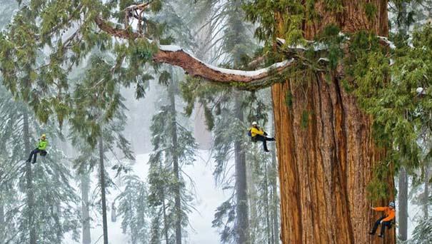 Πως γίνεται η φωτογράφηση ενός γιγάντιου δέντρου (1)