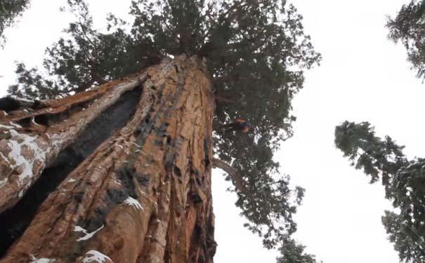 Πως γίνεται η φωτογράφηση ενός γιγάντιου δέντρου (2)