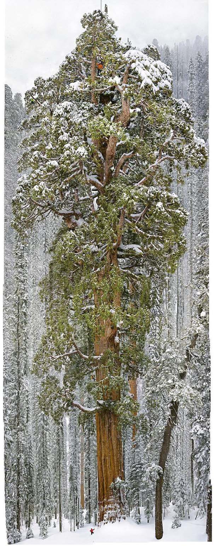 Πως γίνεται η φωτογράφηση ενός γιγάντιου δέντρου (7)