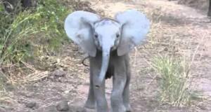 Γενναίο ελεφαντάκι «ορμάει» σε τουρίστες (Video)