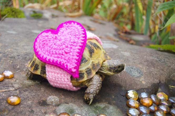Γυναίκα πλέκει στολές για τις χελώνες της (4)