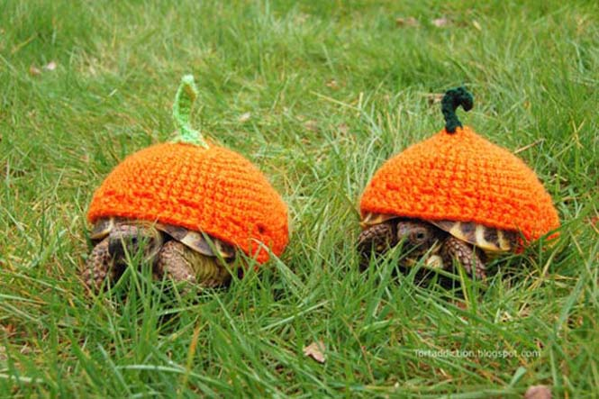 Γυναίκα πλέκει στολές για τις χελώνες της (10)