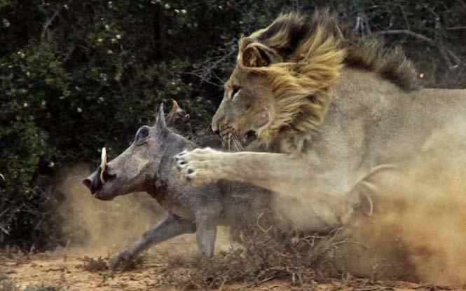 Μάχη λιονταριού με έναν αγριόχοιρο (1)