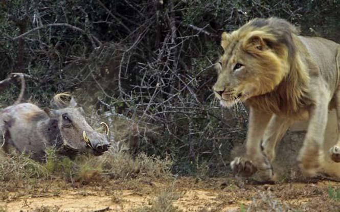 Μάχη λιονταριού με έναν αγριόχοιρο (2)