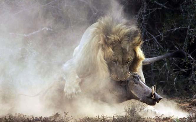 Μάχη λιονταριού με έναν αγριόχοιρο (3)