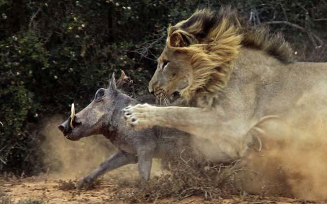 Μάχη λιονταριού με έναν αγριόχοιρο (4)