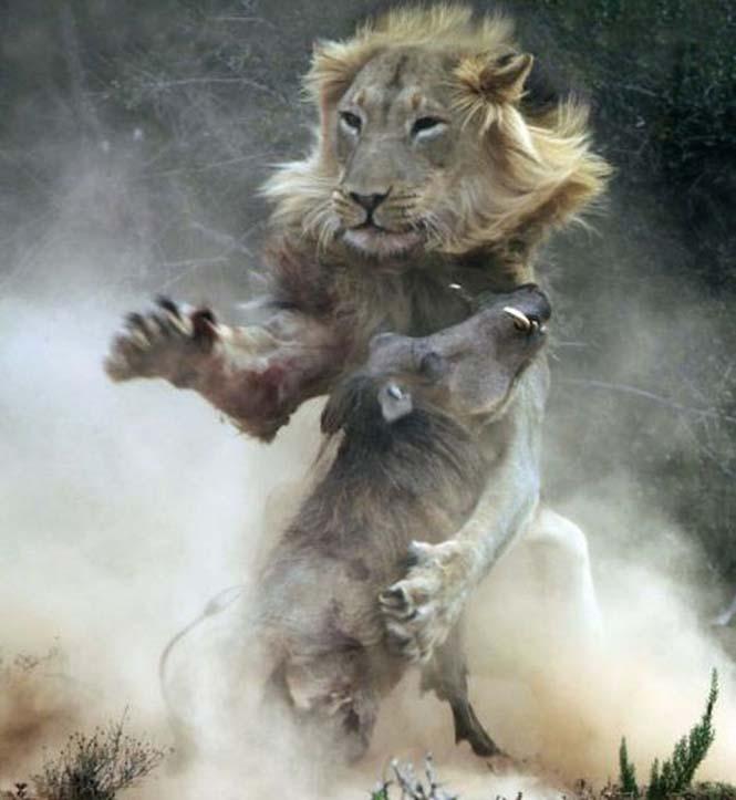 Μάχη λιονταριού με έναν αγριόχοιρο (5)