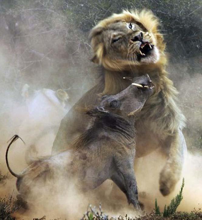 Μάχη λιονταριού με έναν αγριόχοιρο (6)