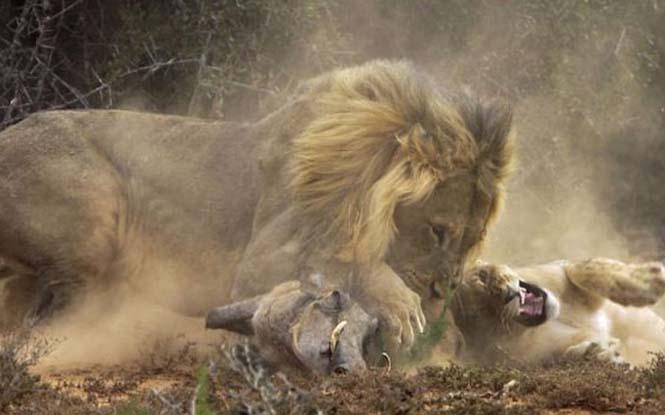 Μάχη λιονταριού με έναν αγριόχοιρο (7)