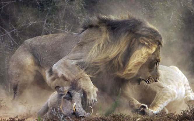 Μάχη λιονταριού με έναν αγριόχοιρο (8)
