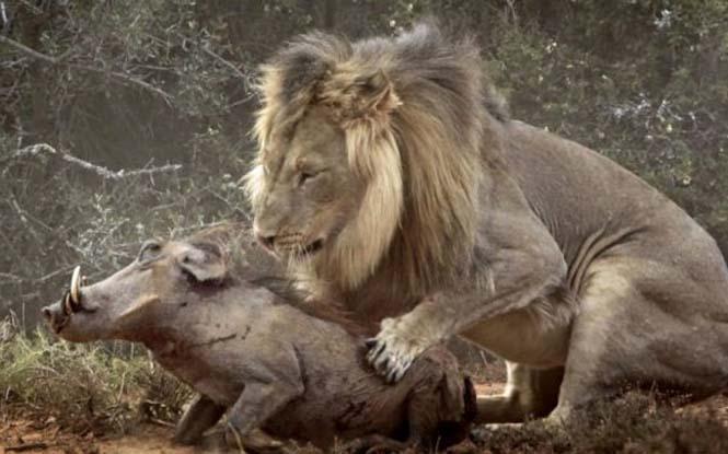 Μάχη λιονταριού με έναν αγριόχοιρο (9)
