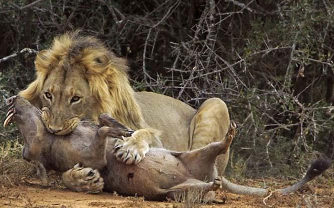 Μάχη λιονταριού με έναν αγριόχοιρο (10)