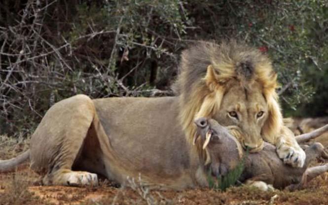 Μάχη λιονταριού με έναν αγριόχοιρο (11)