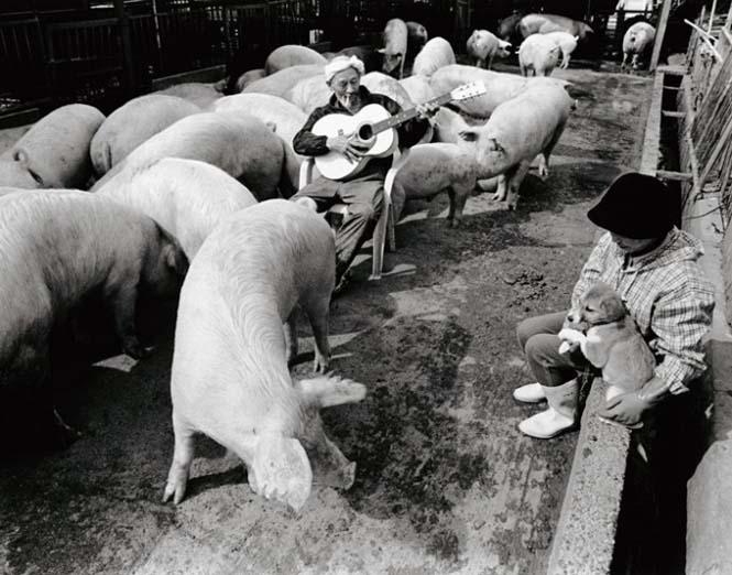 Η μοναδική σχέση ενός αγρότη με τα γουρούνια του (3)