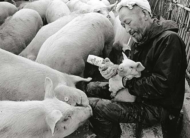 Η μοναδική σχέση ενός αγρότη με τα γουρούνια του (4)