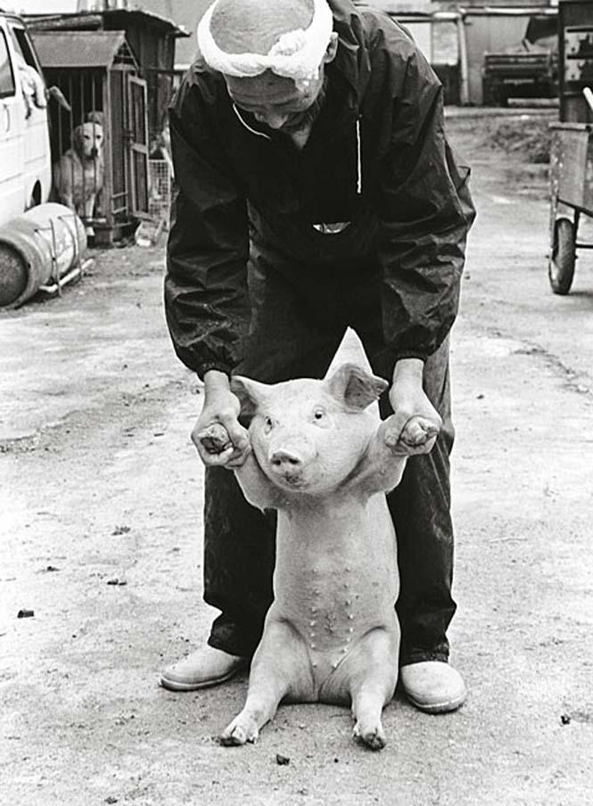 Η μοναδική σχέση ενός αγρότη με τα γουρούνια του (6)