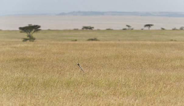 Μπορείτε να εντοπίσετε την λεοπάρδαλη; (2)