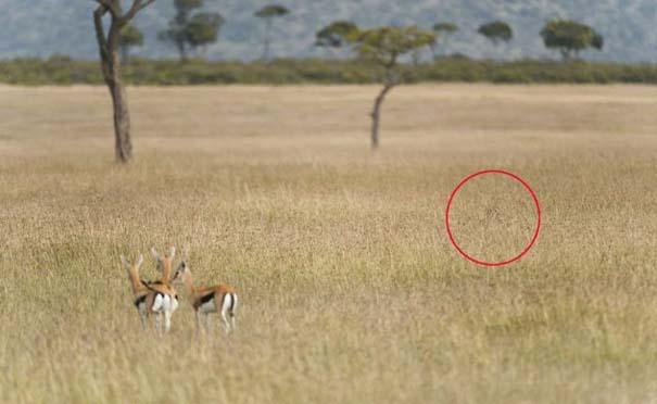 Μπορείτε να εντοπίσετε την λεοπάρδαλη; (5)