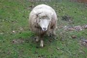 Όταν ένα πρόβατο μεγαλώνει κοντά σε σκύλους