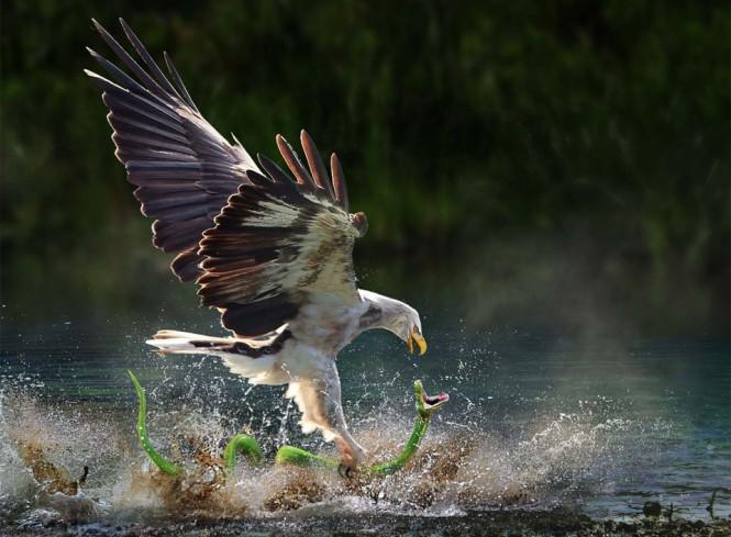 Αετός εναντίον φιδιού με εκπληκτικό timing | Φωτογραφία της ημέρας